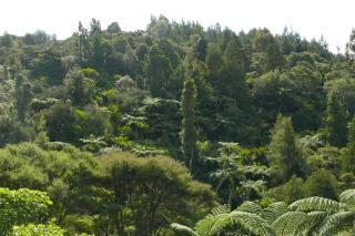 A forest view from the walkway. In addition to the palm trees dotting the forest canopy, we also have tree ferns.